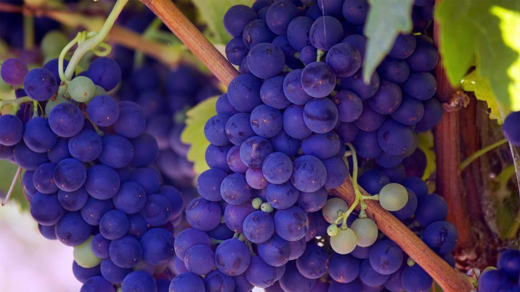 calkorium vigne