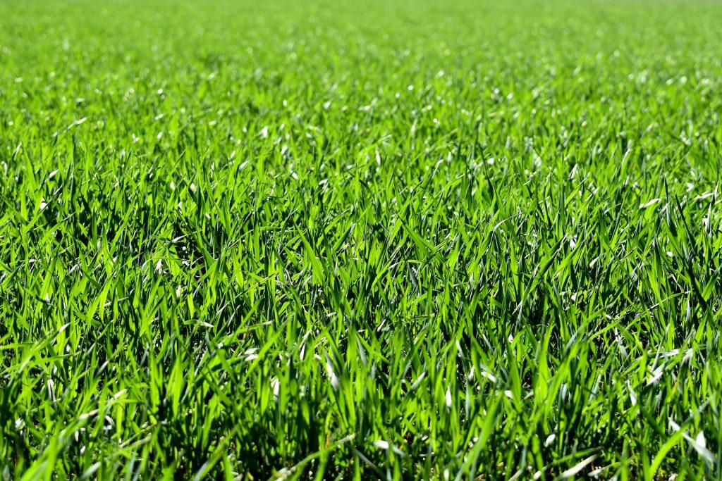 calkorium herbe