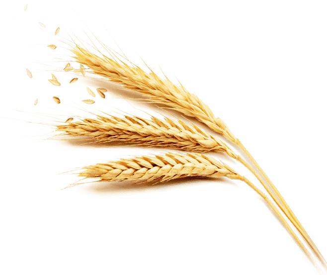 Céréales à paille