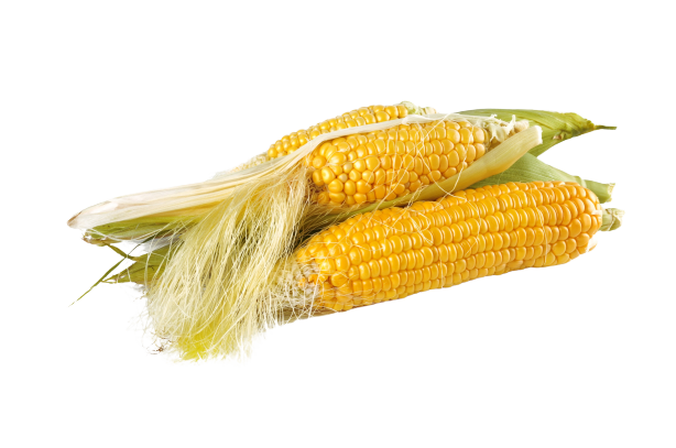 culture-du-maïs