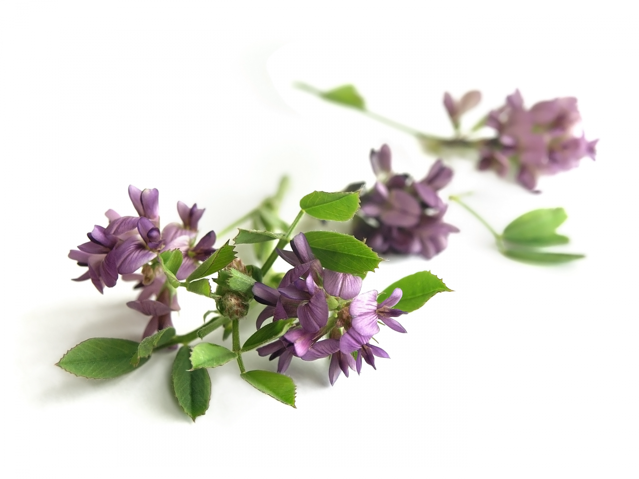 alfalfa-flower